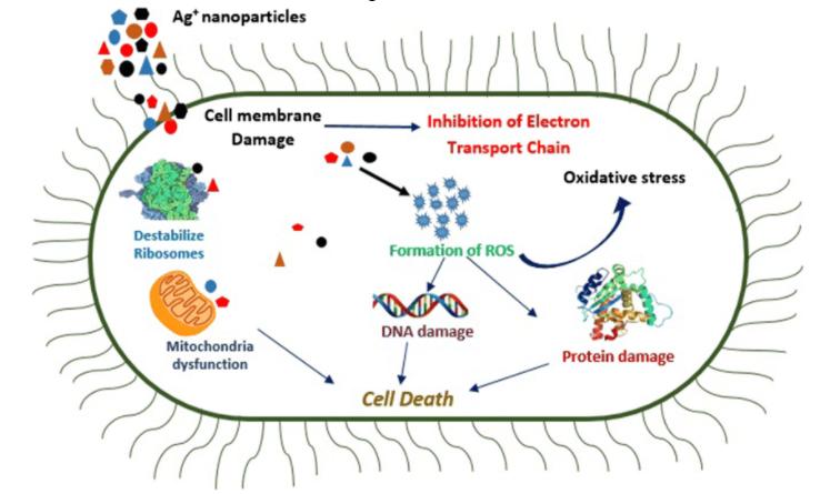 PHỨC HỆ TSN có tác dụng diệt vi khuẩn 1